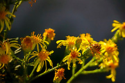 Yellow wildflowers on dark black background