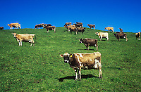 Cows in field on hill