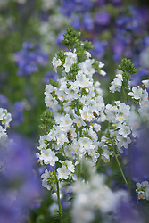 Polemonium caeruleum (Colour mix) (Jacob's ladder)