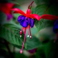 Fuchsia-Flower