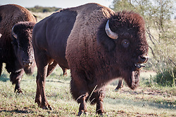 Bison bull grunting and sticking tongue out during rut, Texas State Bison Herd, Caprock Canyons State Park, Quitaque, Texas USA.