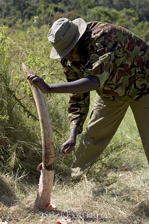 African Elephant <br /> Loxodonta africana<br /> Mara Conservancy ranger trims the flesh off a confiscated tusk<br /> *No model release available- for editorial use only