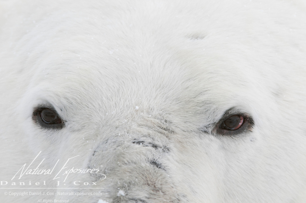 A close up of a polar bear's eyes. Hudson Bay, Manitoba, Canada