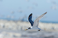 Swift Tern in flight, Lamberts Bay, Western Cape, South Africa