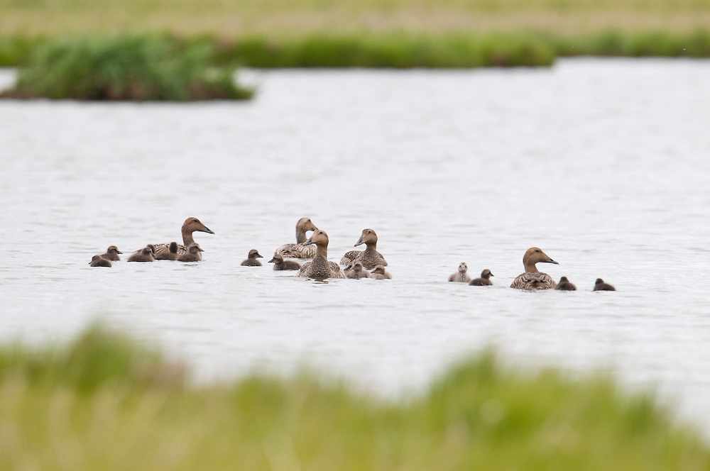Common Eiders, Somateria mollissima v-nigra, females with ducklings, Yukon Delta NWR, Alaska