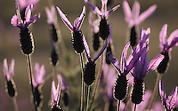 French or Spanish lavender (Lavandula stoechas), Monfrague National Park, Extremadura, Spain