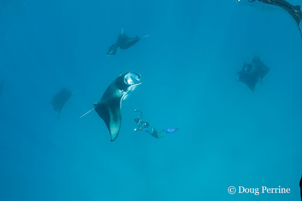 manta researcher Guy Stevens takes photos of unique individual markings ( belly spots ) used to identify manta rays, Manta alfredi (formerly Manta birostris ) that are feeding on plankton in Hanifaru Bay, Baa Atoll, Maldives ( Indian Ocean )