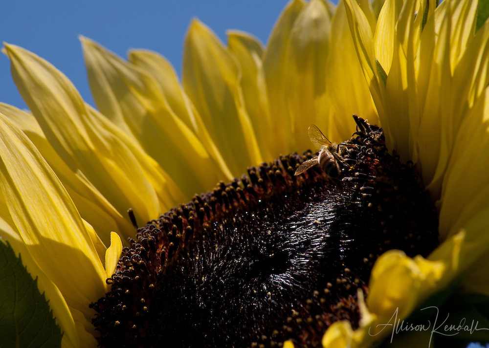 A honeybee visits the large yellow bloom of a summer sunflower, under a bright blue sky