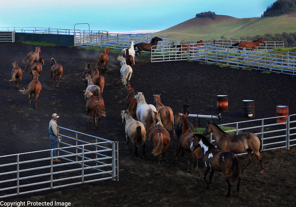 Wayne Tachera, a cowboy for Kahua Ranch, lets the ranch's herd of horses out of the coral after spraying them with a fly repellent.  In the distance, one can see the ocean. The ranch is located at 3,000 feet above sea level where some of the best grazing lands are.