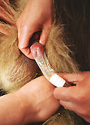 Veterinarian Ye Zhiyong (Top) at the Chengdu panda breeding center collects the sperm of panda Kebi, while his colleague holds an electrode inside the 100kg animal's rectum. The electrode emits about eight volts of pulses over 30 minutes, resulting in the 5-1/2 year-old animal ejaculating for artificial insemination. ..Copyright Justin Jin