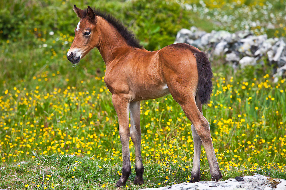 Connemara pony foal in buttercup meadow, Connemara, County Galway, Ireland