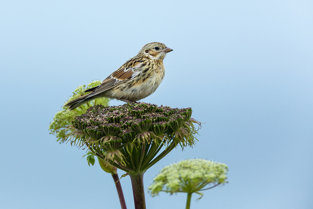 Lapland Longspur (Calcarius lapponicus) perched on wild celery on St. Paul Island in Southwest Alaska. Summer. Morning.