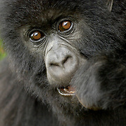 Mountain Gorilla (Gorilla beringei beringei) <br /> Virunga Volcanoes - Parc National des Volcans, Rwanda <br /> <br /> A close encounter with Ibigwi, from the Amahoro group in Parc National des Volcans, Rwanda.