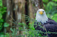 Bald eagle stare at the Sitka Raptor Recovery Center in Sitka, Alaska.
