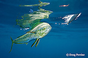 dorado, mahi mahi, or dolphin fish, Coryphaena hippurus, chasing a ballyhoo bait, with reflection on ocean surface, off Isla Mujeres, near Cancun, Yucatan Peninsula, Mexico ( Caribbean Sea )