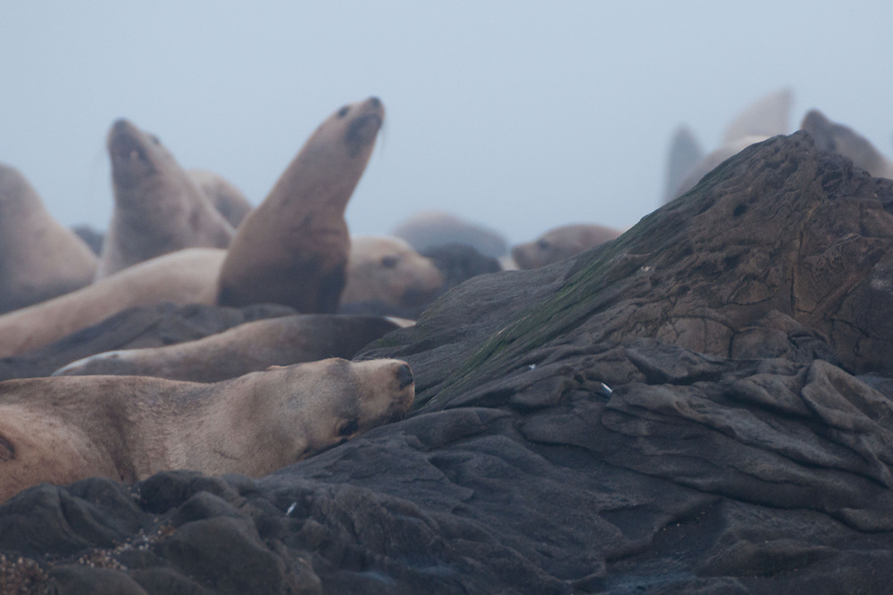 Steller Sea Lions (Eumetopias jubatus), Bell Island Chain, Gulf Islands, British Columbia, Canada