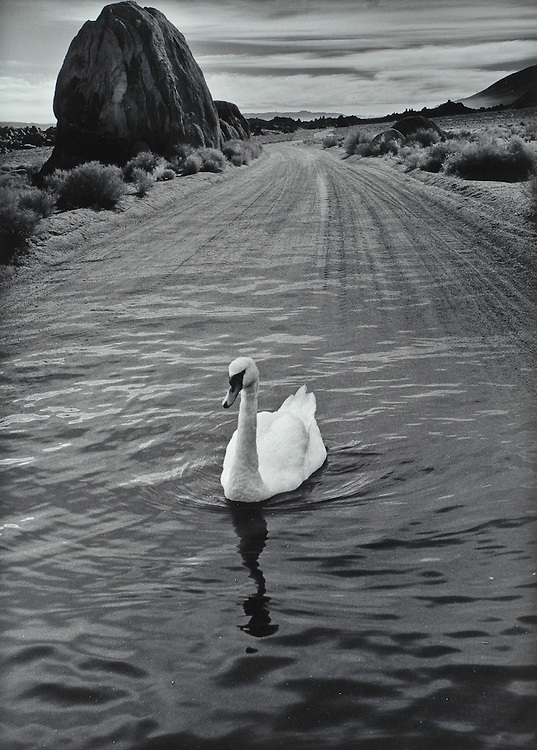 Swan of the Mojave