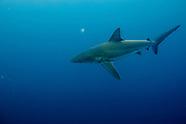 Carcharhinus obscurus (Dusky Shark)