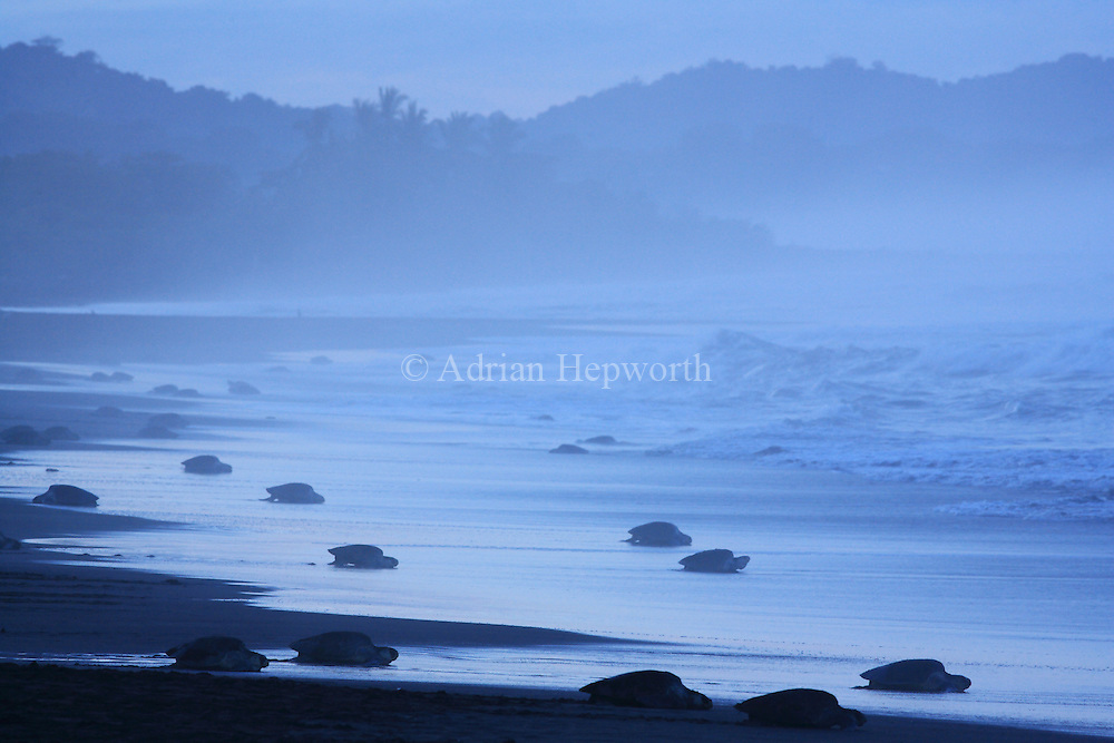 Arribada of Olive Ridley Turtles (Lepidochelys olivacea) at dawn.  Females come ashore to lay eggs. Playa Ostional, Guanacaste, Costa Rica. <br /> <br /> For pricing click on ADD TO CART (above). We accept payments via PayPal.