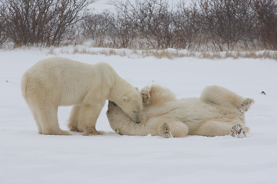 Polar Bear (Ursus mariimus) two large males play fighting. Churchill, Manitoba