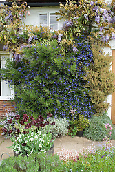 Climbers and climbing shrubs clothing a wall at Eastgrove Cottage. Ceanothus 'Concha', Wisteria floribunda, Hebe hulkeana and Myrtus 'Glanleam Gold'