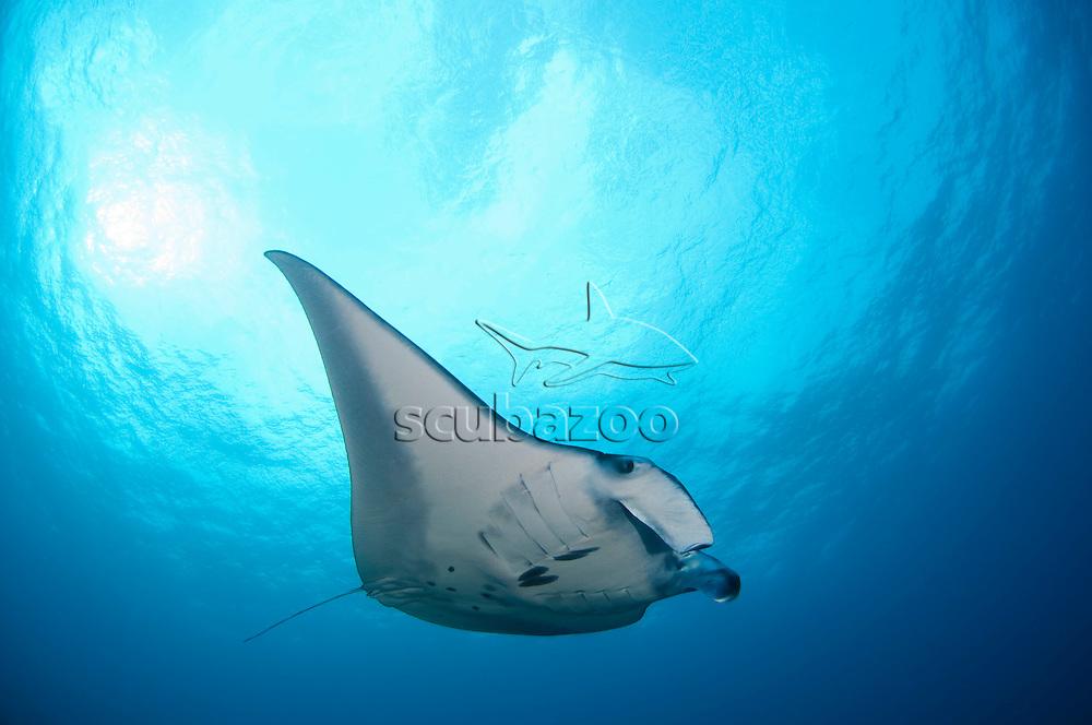 Reef Manta ray, Manta alfredi, Layang Layang, Spratly Islands, Sabah, East Malaysia, South China Sea.