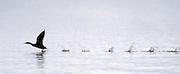 Byron Hetzler/Sky-Hi News<br /> A merganser takes off from Lake Granby on Thursday morning.