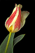 Despite being transparent and small, these raindrops play an important role in this photograph of a single peacock tulip.