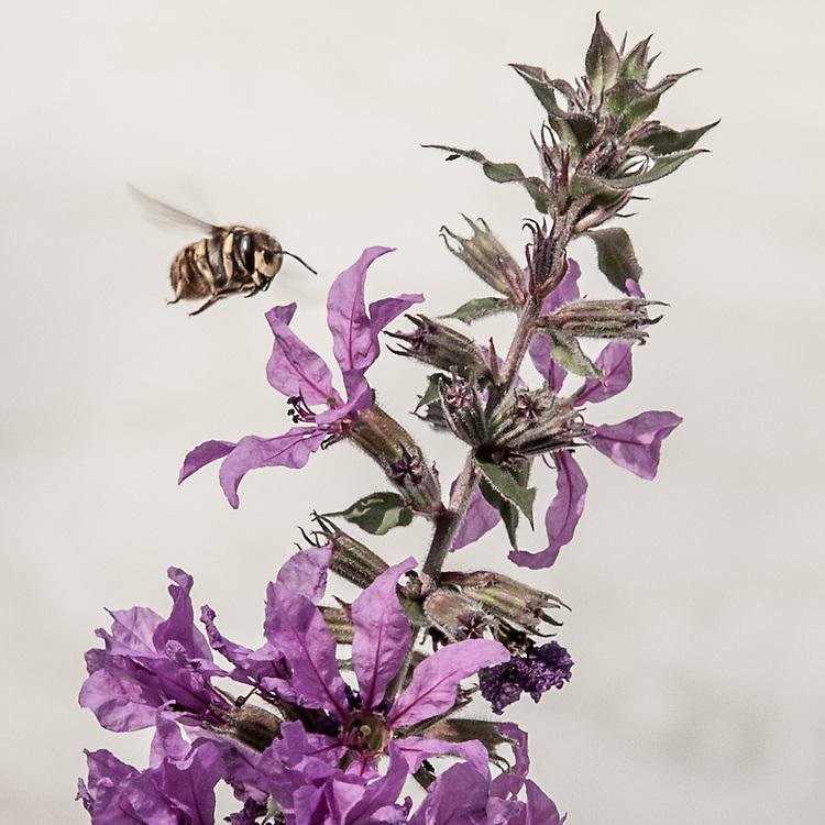Longhorn Bee  (Melissodes bimaculata)