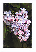 Greeting Card with photograph of lilac blossoms individually printed on archival card stock with long lasting inks. Blank inside, matching envelope