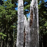 Burnt tree trunk at Waldo Lake, Oregon.