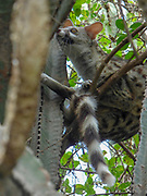 common genet (Genetta genetta) in a tree. The common genet is a solitary carnivore that inhabits woodlands. It is arboreal, resting in trees during the day. Photographed in Serengeti national Park, Tanzania,
