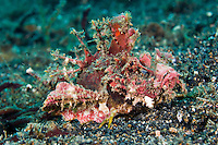 Devil scorpionfish, Lembeh Strait, Sulawesi, Indonesia. The Lembeh Strait in N Sulawesi is famous for its unusually high marine biodiversity, particularly of unusual animals that live on the exposed sand areas.