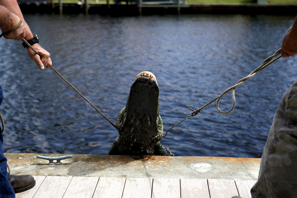 Dave Regel, left, and George Hodge, right, lift a trapped alligator over the sea wall at Port of the Islands Resort & Marina in East Naples. Regel has spent more than 25 years pulling gators from neighborhood pools, ponds and waterways as a Florida Fish and Wildlife Conservation Commission nuisance trapper. Greg Kahn/Staff