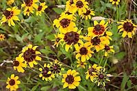 Black-eyed Susan, (Rudbeckia hirta), Fayette County