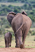 African Elephant cow and calf walking away from water Addo Elephant National Park, Eastern Cape, South Africa