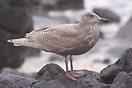 Glaucous-winged Gull photos