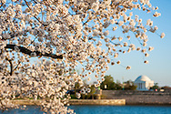 Washington D.C. during cherry blossom season.