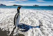 A King penguin (Aptenodytes patagonicus) standing in the surf, stares inquisitively at an expedition vessell on the horizon, Salisbury Plain, South Georgia, South Atlantic Ocean.