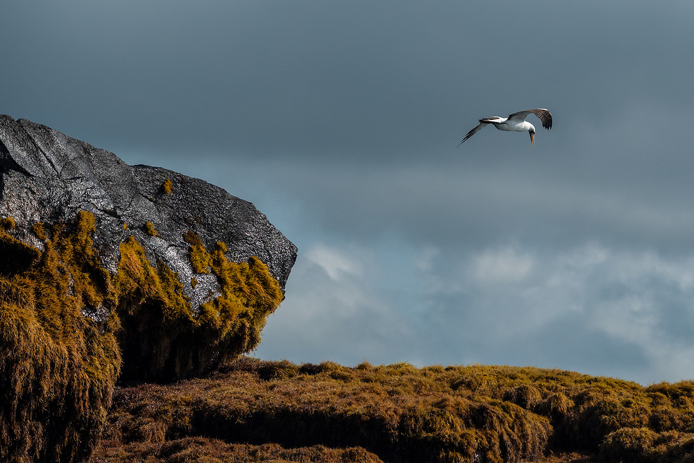 Nazca booby flying over Union Rock, Galapagos Islands, Ecuador.
