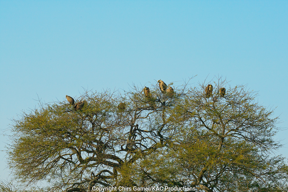 Flock of White-backed Vultures (Gyps africanus) perched on top of a tree, Serengeti National Park, Tanzania Africa; near threatened species; old world vulture; scavenger; social species; dry season