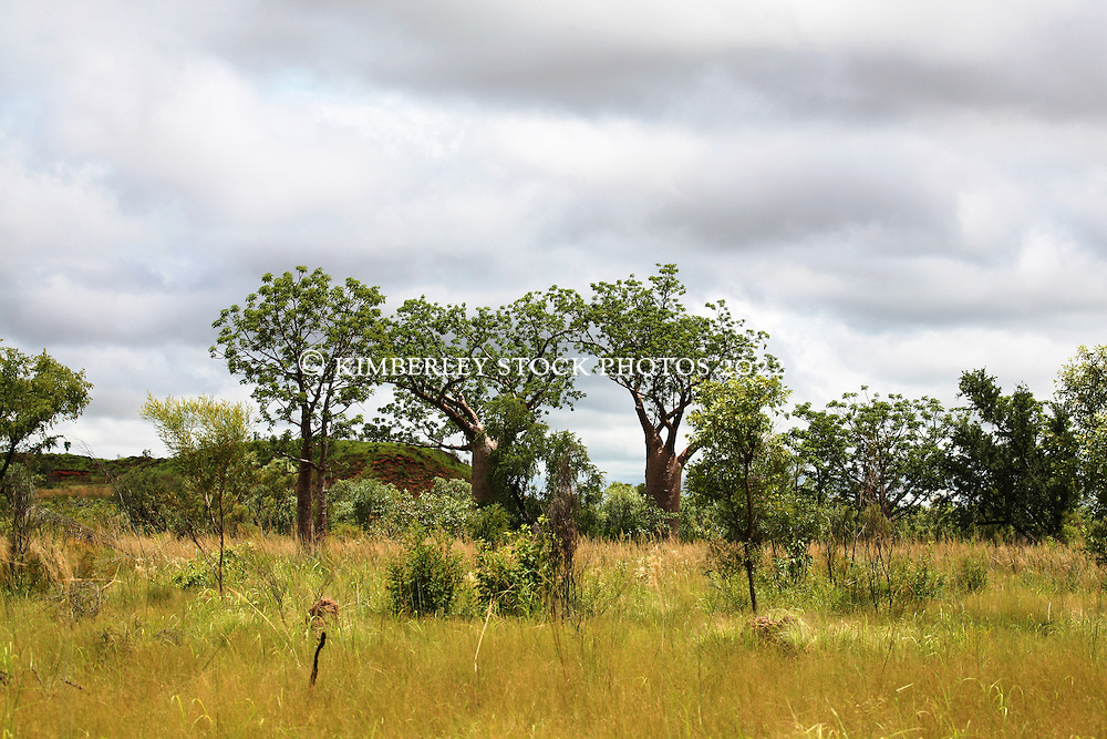 A stand of boabs stand in lush grassland ion the road to Fitzroy Crossing in the wet season.