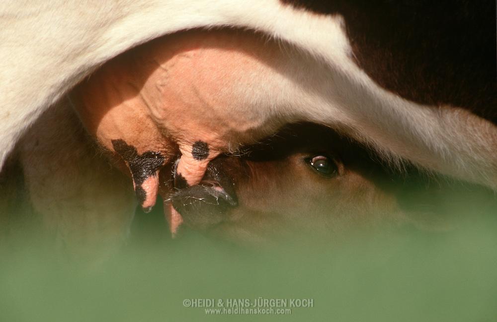 DEU, Deutschland: Hausrind (Bos taurus), Kalb trinkt am Euter seiner Mutter, Rasse: Schwarzbunte, Norddeutschland | DEU, Germany: Domestic cattle (Bos taurus), calf nursing, race: Holstein, Northern Germany |