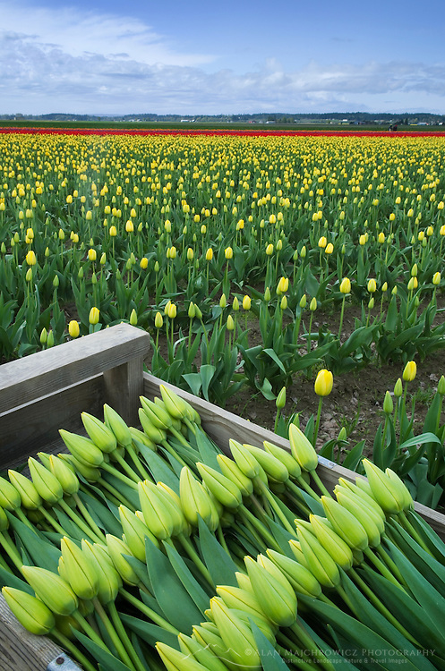 Skagit Valley Tulip Fields, Washington