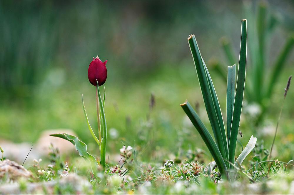 Cyprus Tulip (Tulipa Cypria) Akamas peninsula, Cyprus