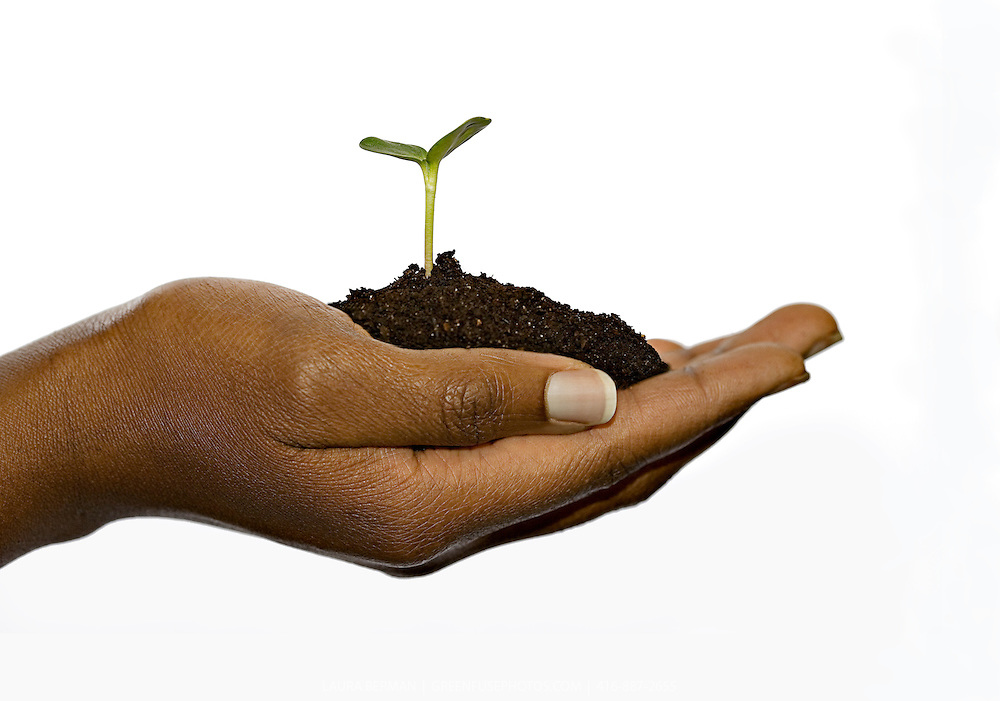 A very young sunflower seedling in profile, planted in a mound of soil, being gently supported by the hand of an African-American, isolated against a white background.