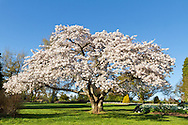 A Cherry tree is covered in blossoms at Queen Elizabeth Park in Vancouver, British Columbia, Canada