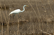 Great White Egret hunting the saltmarsh off 7 Bridges Road, Forked River NJ