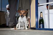 Kleiner Hund mit Champagnerflasche; Jack-Russell avec bouteille de champagne. © Romano P. Riedo