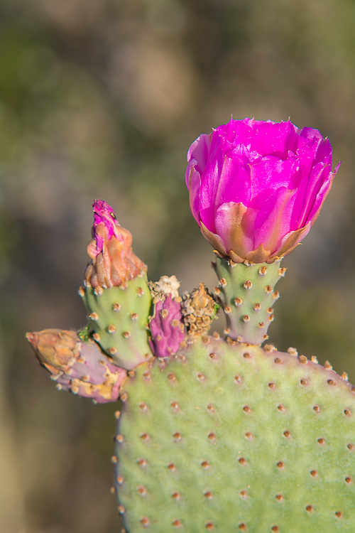 Pad and flower view of the brilliantly colored beavertail cactus blooming in the Sonoran Desert just outside of Palo Verde in Southern California.